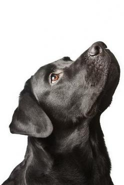 Beautiful.: Blacklab, Dogs Dogs, Black Labrador Retriever, Black Labradors, Labrador Retrievers, Black Labs, Beautiful Dogs