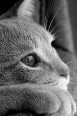 Beautiful... you just want to cuddle...: Kitty Cats, Beautiful Cat, Kitten, Kitty Kitty, Chat, Cat S, Close Up