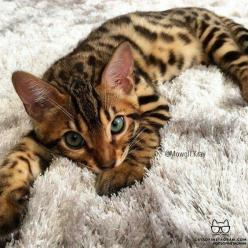Bengal Heaven: Bengal Cats, Beautiful Cats, Adorable Kittens, Bengal Cat Kitten, Hate Cats, Bengal Kittens, Cats Bengals, Blue Eyes