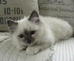 Birman Cat ( blue point ), not a Ragdoll. Probably one of THE cutest cats I have ever seen: Kitty Cats, Ragdoll Cats And Kittens, Shabby Chic, Birman Cat, Cutest Cat, Cats Kittens, Blue Point
