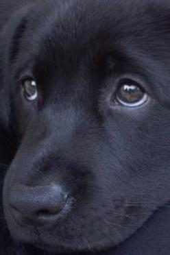 Black Lab - A Raven Has My Heart