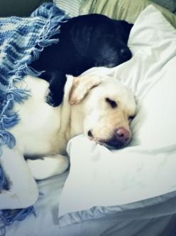 black and yellow labs snuggled in bed. best sleeping photo ever? #labs: 3/4 Beds, Yellow Labs Puppies, Sleeping Photo, Labs Snuggling, Labs Snuggled, Labrador Retrievers, Sweet Dreams, Black Labs, Furry Friends