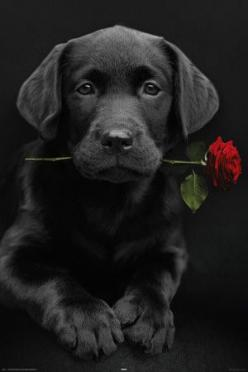 Black Lab Pup: Labrador Retriever, Doggie, Red Roses, Black Lab Puppies, Valentine, Black Labs, Black Labrador