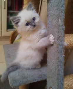 blue cream rag doll, kitten. Had one of theses for over 10 years and seriously the best cat I have ever had! And I have had my share! Only down side is so much hair but everything else you would want in a cat companion.: Ragdoll Cats And Kittens, Blue Rag
