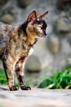Calico cat! My favorite breed! Look at that fur! Isn't it just gorgeous!: Cats Calico, Warrior Cat, Tortoise Shell Cat, Calico Cats, Baby Cat, Beautiful Tortie