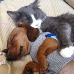 cat and dog snuggling: Cute Animal, Best Friends, Sweet, Doxi, Dachshund, Cuddle Buddy, Animal Friends, Cats Dogs