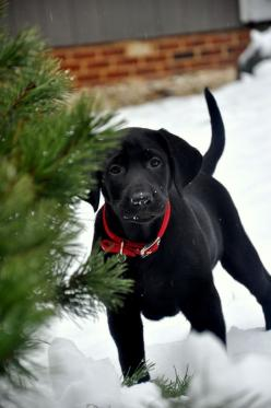 Christmas puppy Check more at http://hrenoten.com: Black Lab Puppy, Christmas Lab, Black Dogs, Labrador Puppies, Black Lab Puppies, Christmas Dog, Labrador Retrievers, Black Labs, Black Labrador