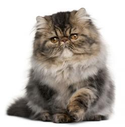 ♥ Cozy Kittens: Doll Face Persian Kittens & Doll Face Himalayan Kittens at their finest!: Adorable Persian, Cats Persian, Himalayan Cats, Persian Cats, Kiddy Cats, Cats Continued, Cats Kittens, Doll Face Persian Kitten, Persians Cats