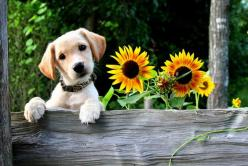 Cute Dog next to Sunflowers: Cat, Cute Puppies, Favorite Things, Puppy Love, Pet, Puppy Sunflowers