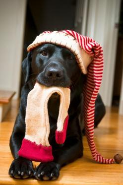 Cutest Christmas Pet Photo Session Idea | Dog | Lab | Puppies | Dogs | Pet Photography | Black Labrador Retriever   | Holiday | Puppy | Portraits: Labrador Retriever, Christmas Pets, Christmas Lab, Christmas Animals, Dog Christmas Photo, Christmas Card, C