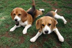 Did You Know? - President Lyndon Johnson had two beagles named Him and Her #beagle #didyouknow #dog: Beagle Babies, Beagle Puppy, Beagle Pups, Beautiful Beagles, Beagle Puppies, Beagle Dogs, Dog Breeds
