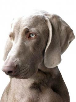 Dog: Weimaraner this makes me miss my babies so much! Hands down one of the most beautiful breads around in my opinion! #beauty #class #dogs: Dogs Weimaraners, Weimeraner S, Pet Dogs, Dogs And Cats, Weimaraner S, Weimeraner Dog, Cats And Dogs, Dog Weimara