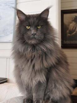 European Maine Coon Cat - Norway. SpellBound Maine Coons - http://mainecoons.no/english/index.html: Cats 7, Meow, Maine Coon Cats, Cats Iii, Cats Love, Cats Kittens, Cats Say, Cats Dogs Animals