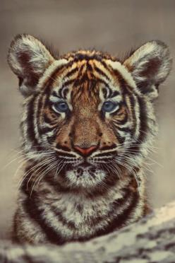 Everything you desire: Beautiful Cat, Cute Animal, Big Cats, Tiger Cubs, Blue Eyes, Wild Cats, Baby Tigers, Adorable Animal