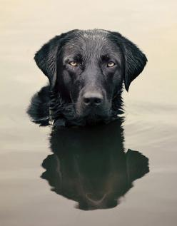 Fabulous photo of a black lab. Not easy to do.: Doggie, Black Labrador Retriever, Pet Photography, Photography Pet, Black Dogs, Water Dog, Beautiful Lab, Black Labs