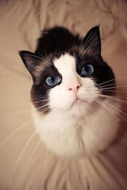 Families with small pet meow: Beautiful Cat, Small Pet, Kitty Cats, Big Blue Eyes, Beautiful Eyes, Animals Cats, Cats Kittens