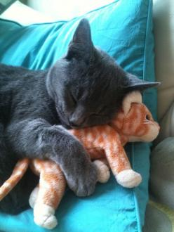 Funny Cats rule! #funnycat #funnycats #cats more funny cats here http://www.funnycatsblog.com: Beanie Baby, Kitty Cats, Sleepy Kitty, Cute Cats, Beanie Babies, Funny Cats, Animals Cats, Stuffed Animal, Grey Cats