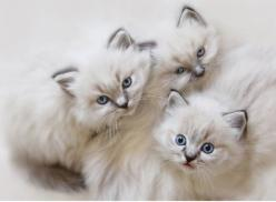 fuzzzzz: Lori Deiter, Kitty Cats, Persian Kitten, Kitty Kitty, Cute Animals, Baby Faces, Cats Kittens, Cat Lady