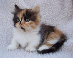 gorgeous Calico Cats Sitting - Bing Images: Midget Cat, Calico Munchkin, Calico Cats, Cats And Kittens, Munchkin Cats, Munchkin Kittens, Cats Kittens