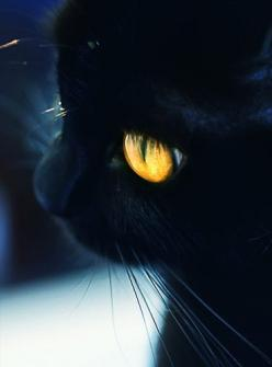 Great American Pet Photo Contest...1000$ Cash Price For The Winning Pet... Submit Your Pet Photos Here.... http://petphoto-contest.website.org: Kitty Cat, Yellow Eye, Cat Eye, Golden Eye, Amber Eye, Beautiful Eye, Black Cat, Blackcat