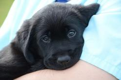 Guide dogs: Dog welfare experts: Guide Dogs, Dogs Week, Labs Rock, Black Labs, Dogs Labradors, Black Labrador