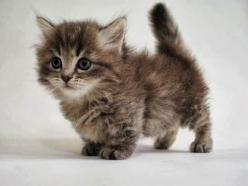 GUYS. THERES THESE CATS AND THEY ARE CALLED MUNCHKIN CATS. AND THIS IS A BABY ONE. AHHHHHHH!: Dwarf Kitten, Munckin Cat Munchkin Kitten, Munchkin Kitties, Munchkin Cats, Baby Munchkin, Munchkin Kittens, Cats Kittens, Baby Cats