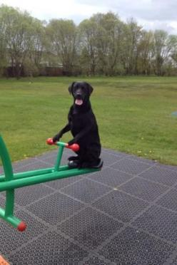 .hahahahaha......this would totally cool...to have a dog that could do this...:).....: Funny Animals, Funny Dogs, Funny Animal Pictures, Funnydogs Dogsfunny, Funny Pictures Of Dogs, Labrador Funny, Funny Dog Pictures, Dogs Funnydogs, Black Labs Funny