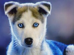 Have wanted one of these pups since the 4th grade and would ask my parents for one every year for Xmas and bdays. Maybe one day :): Cute Animal, Siberian Husky, Beautiful Eyes, Siberian Huskies, Blue Eyes, Huskies Puppies, Adorable Animal