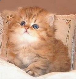 He needs me.  He probably costs thousands of dollars, but he needs me!: Animals Cat Kittens, Persian Kittens, Cats And Kittens, Persa Cat, Persian Cats, Kittens Cats, Animals Cats, Cats Kittens, Gatos Persian