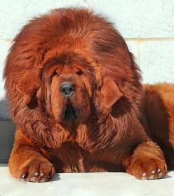 Hi I'm a red Tibetan Mastiff... I was raised in a monestary & became the most expensive dog my purchase price ($1.5 Mil): Expensive Dog, Awesome Dog, Mastiff Dogs, Tibetan Mastiff Puppies, Red Tibetan, Big Splash, Most Expensive, Tibetan Mastiffs,