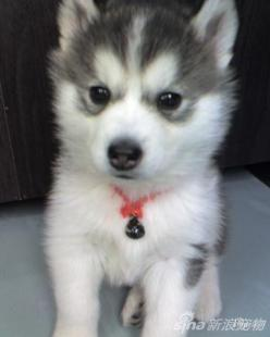 Husky puppy :) wish it had one blue eye and one brown eye: Brown Eyes, Big Eyes, Baby Huskies, Baby Husky, Blue Eyes, Cute Husky, Animal, Brown Siberian Husky