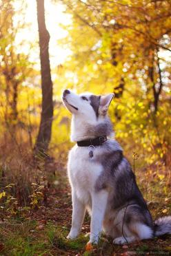 Husky. They a beautiful looking dogs. Please check out my website thanks. www.photopix.co.nz: Alaskan Huskies, Siberian Husky Puppies, Siberian Huskies, Huskies Dogs, Husky S, Husky Dogs, Huskies Puppies