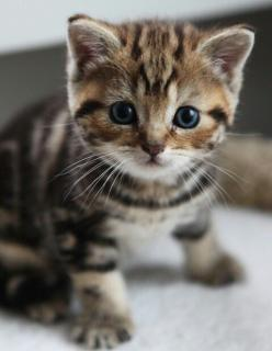 "I could just die!! Bengal kitten! * * KITTEN: Don'ts die lady, just think of meez. Dids you ever gets yer Bengal breed? "": Kitty Cat, Cute Kitten, Cute Cat, Kitty Kitty, Cat S, Cats Kittens, Baby Cat"