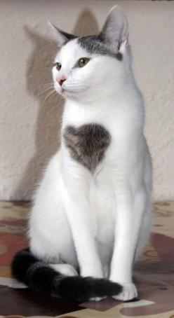 I Have a big heart fur love born special - Cat memes - kitty cat humor funny joke gato chat captions feline laugh photo: Cats Cats, Kitty Cats, Heart Cat, Heart Kitty, Kitty Kitty, Cat S, Cats Kittens, Big Hearts, Cat Heart