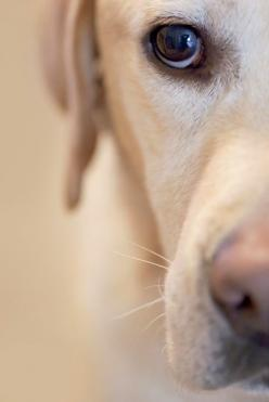 I just love photos like this!! Window to their soul: Labrador Retriever, Doggie Eyes, Yellow Labs, Labby Eyes, Labradors Petbox, Labrador S, Yellow Labradors, Animal