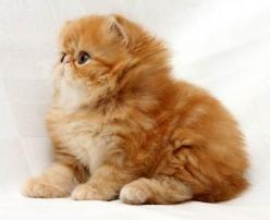 I need a ginger persian cat in my life.: Crazy Cats, Ginger Kitten, Flat Face Cat, Flat Faced Cat, Faced Cats, Persian Cats, Cats Dogs, Kittens Cats, Cats Kittens