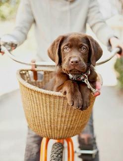 I really miss Dozer, but I am excited to fall in love with a new chocolate lab puppy this spring.: Bike Rides, Chocolate Labs, Chocolate Lab Puppies, Bike Baskets, Chocolate Labrador, Dog, Bicycle Basket