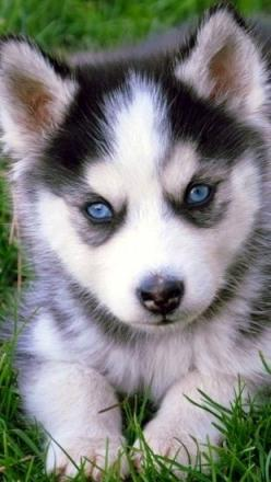 I shall have one. And I shall name him Balto.: Animals Dogs, Adorable Husky, Favorite Animal, Husky Puppie, Dogs Puppies Buddy, Huskies Puppies, Gorgeous Animals