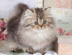 Image detail for -... Persian Kitten - Teacup & Toy Persian Kittens For Sale | Teacup & Toy: Animals Cat Kittens, Kitty Cats, Persian Kitten, Fluffy Kittens, Kittens Cats Meow Purrr, Cats And Kittens, Cats Kittens, Persian Cat, Gatos Katzen Cats C