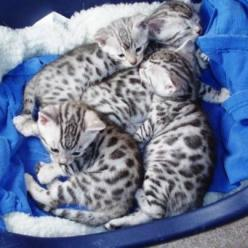Irresistible silver Bengal kittens - I want these too!: Bengalkittens Socute, Bengal Cats, Bengal Kittens For Sale, Silver Bengal, Kittens Cats, Cats Kittens, Bengal Kitties