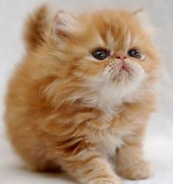 It's so fluffy!!!: Cute Animal, Kitty Cat, Cute Kitten, Persian Kitten, Kitty Kitty, Persian Cat, Adorable Animal