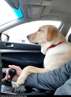 Just Cruisin' • APlaceToLoveDogs.com • dog dogs puppy puppies cute doggy doggies adorable funny fun silly photography: Cars And Dogs, Best Friends, Dogs Hands, Chocolate Labs, Labradors Barney, Dog S, Black Labs, Yellow Labrador