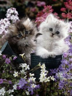 Kittens and Flowers: Kitty Cats, Persian Kitten, Cat S, Kittens Cats, Cats Kittens, Adorable Animal, Kittycat
