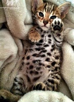 "( Look at his belly.) * * BENGAL KITTEN: "" Look at yer own belly. I haz hads enuff. I kin always carve meez initials in yer neck if yoo wantz."": Bengal Cats, Bengal Kitty, Spotted Kitten, Kitty Paw, Bengal Kittens, Kitty S, Cats Kittens, Baby Beng"