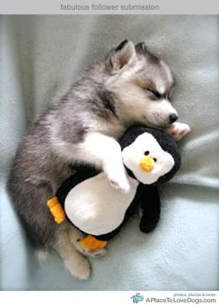 Look at how cute this husky sleeping with the penguin is!!! Hey!!! I think my cousins have that penguin!!! Funny.: Cute Animal, So Cute, Baby Animal, Puppy, Huskies Puppies, Stuffed Animal, Adorable Animal, Cutest Animal