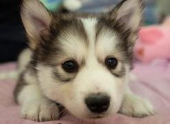 Look at the bags under this puppy's eyes!: Cute Puppies, Adorable Animals, Awwwww Animals, Dogs Puppies, Box, Puppies Pets Animals, Huskies Puppies