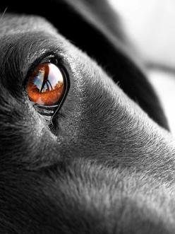 "Looks like my ""old man"" Boney's eyes.... a labs eyes will make you fall in love instantly.: Labrador Retriever, Labs Eyes, Dogs Eye, Dog Photography, Dog S Eye, Beautiful Eye, Amber Eyes, Black Labs"