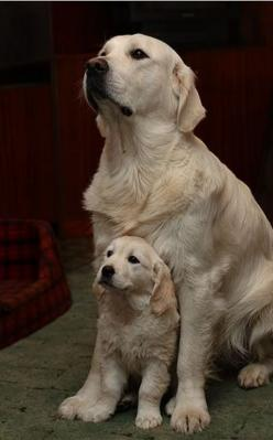 Love puppy: Labrador Retriever, Dogs, Sweet, Golden Retrievers, Puppy Love, Mother, So Cute, Pet, Dog S