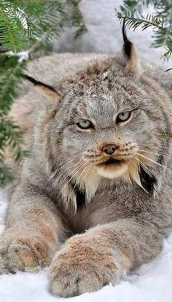 Lynx in the snow!, This is one of the coolest pictures Ive ever seen in a long time.: Wild Cat, Wild Animal, Big Cat, Beautiful Cat, Beautiful Animal, Wildcat, Amazing Animal, Bigcat