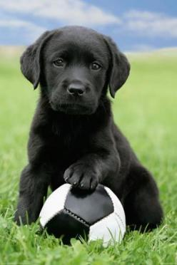 """Man Raises """"Puppies"""" for Two Years and Then Realizes They Are Bears.: Labrador Retriever, Blacklab, Soccer Ball, Soccer Pup, Lab Puppies, Black Labs, Black Labrador"""